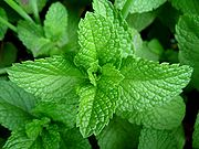 180px-mint-leaves-2007